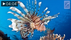 Introduction to the Lionfish